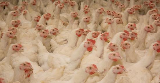 polli-ammassati